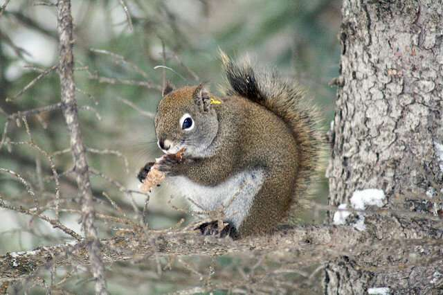 In the squirrel world, prime real estate is determined by previous owner, study reveals