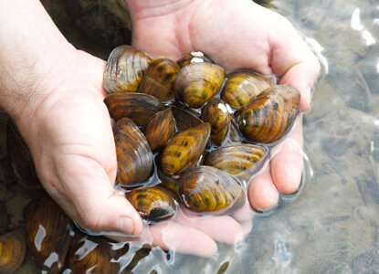 Invasive round gobies may be poised to decimate endangered French Creek mussels