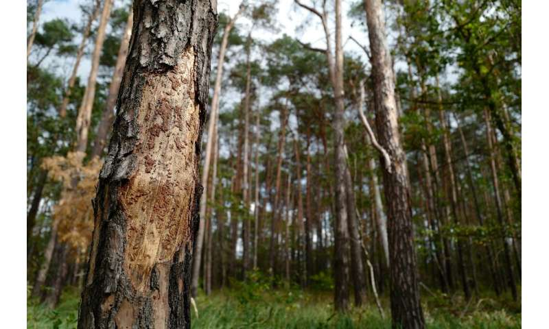 In Welzow forest south of Berlin, once healthy trees have become defoliated