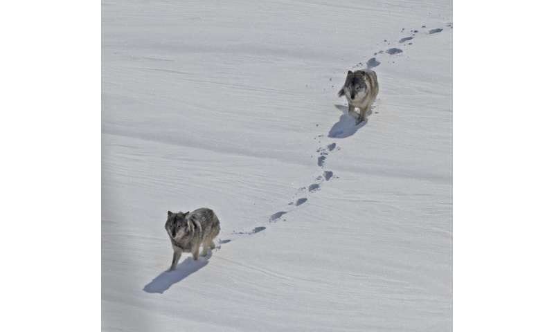 Isle Royale winter study: 13 new wolves, 20 radio-collared moose