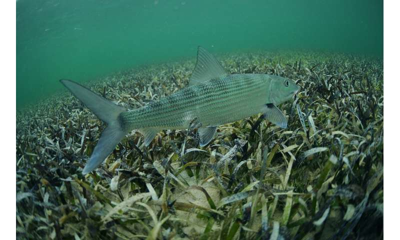 It's time to ratchet up bonefish conservation, scientists say