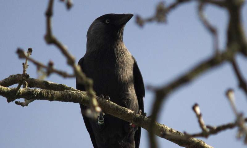 Jackdaws learn from each other about 'dangerous' humans