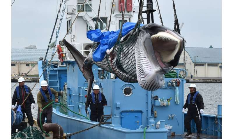 Japan resumed commercial whaling in its territorial waters for the first time in decades last month  brushing aside conservation