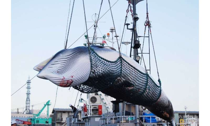 Japan's decision in December to withdraw from the International Whaling Commission sparked a firestorm of criticism from environ
