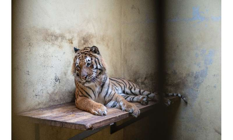 Kan, a male tiger, is seen in his temporary enclosure at the zoo in Poznan, Poland on November 6
