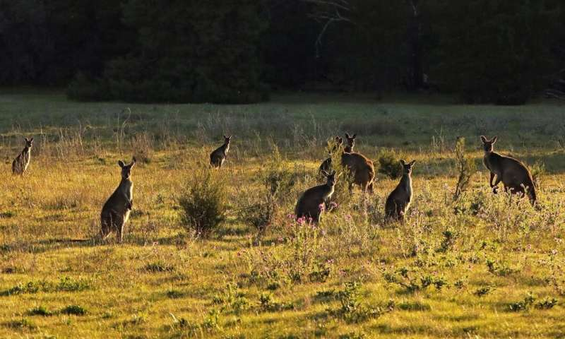 Kangaroos and other herbivores are eating away at national parks across Australia