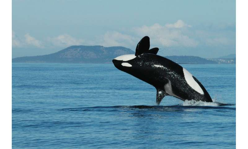 Killer whale grandmothers boost survival of calves