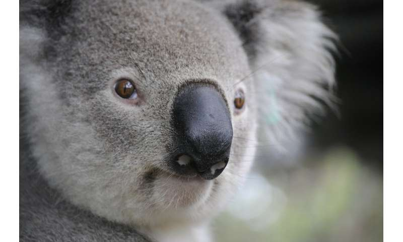 Virtual reality and drones help to predict and protect koala habitat