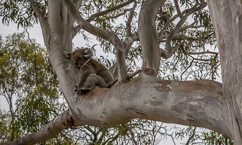 Koalas can learn to live the city life if we give them the trees and safe spaces they need