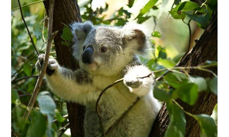 Koala-spotting drones proves a flying success