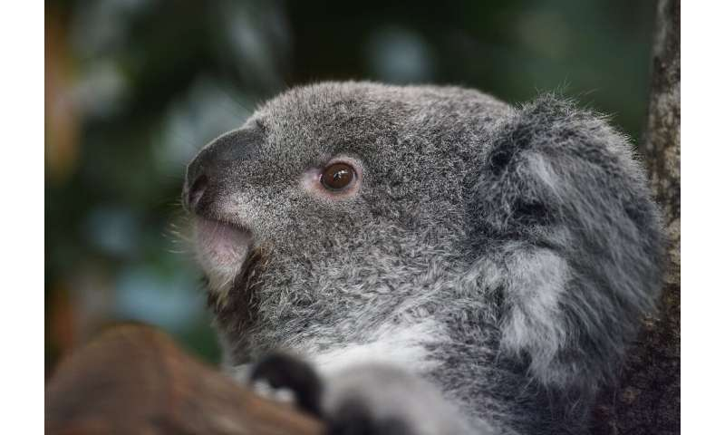 Land clearing and development has devastated the tree-dwelling koalas' habitat, leading to increased inbreeding and reduced gene