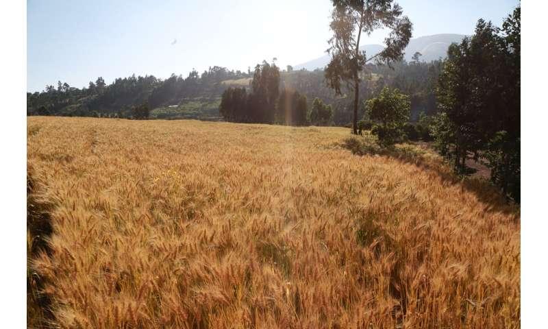 La genómica a gran escala mejorará el rendimiento, la resiliencia climática y la calidad del trigo, muestra un nuevo estudio