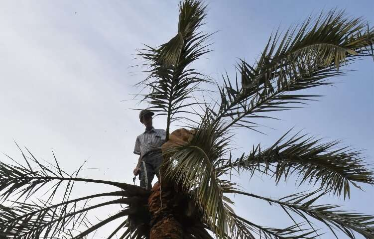 Legmi producers carefully cut the bark to cause a reaction from the palm that makes its sap rise