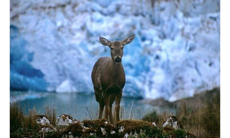 Life-threatening foot disease found in endangered huemul deer in Chile