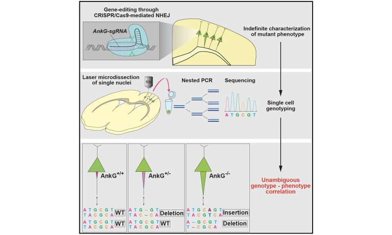Linking phenotypes to genotypes: A newly devised gene-editing strategy