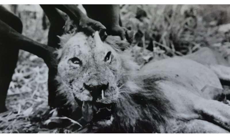 Lions vs. porcupines