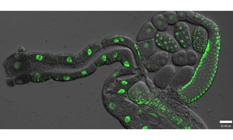 Living longer or healthier? Genetic discovery in worms suggests they can be separated