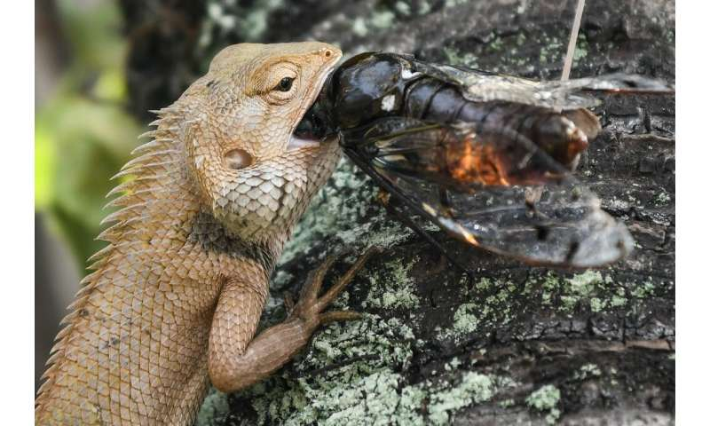 Lizards generally live on a diet of insects, including plant-eaters, like crickets, as well as predators, such as spiders and be