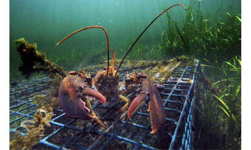 Lobster catch headed for decline, not crash, scientists say