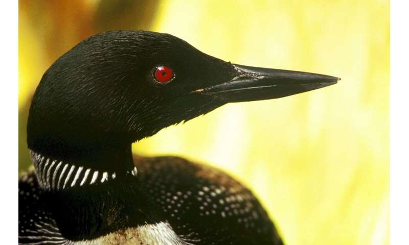 Loons likely to disappear from Minnesota due to climate change, new report warns