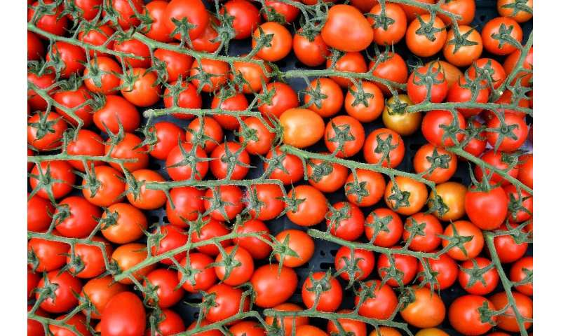 Luigi Galimberti says his farm can produce a kilogramme of tomatoes using just two litres of water, compared to 75 in the fields