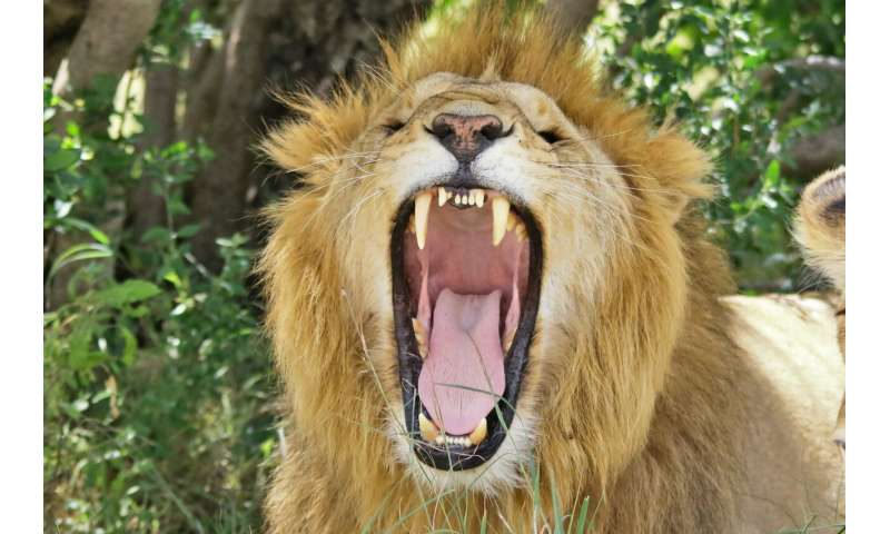 Maasai farmers only kill lions when they attack livestock