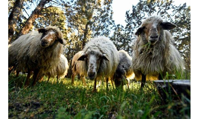 Madrid city hall has since February employed 500 sheep to munch undergrowth at the Casa do Campo park