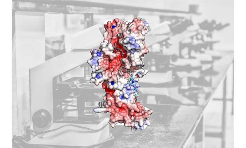 Major findings help understand bacteria's 'superglue'