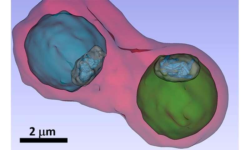 Malaria pathogen under the X-ray microscope