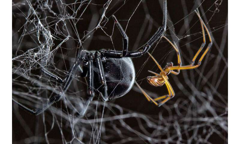 Male black widow spiders piggyback on the work of their rivals to find female mates faster