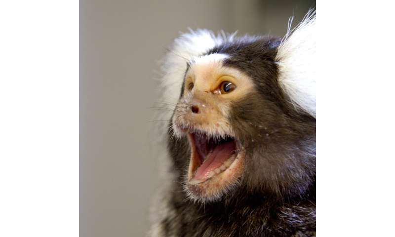 Male common marmosets smell female fertility