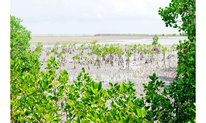 Mangroves on the run find a more northern home