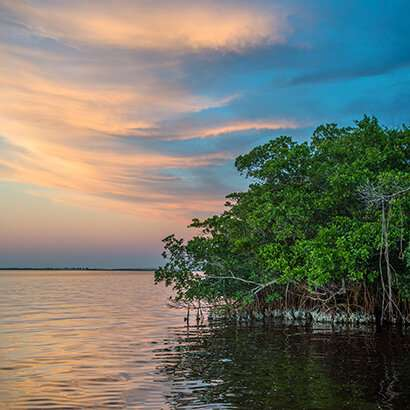 Mangroves reduce flood damages during hurricanes, saving billions of dollars in property losses