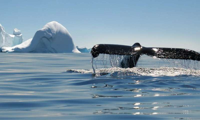 Marine life typically thrives in the tropics – so why do whales prefer the poles?
