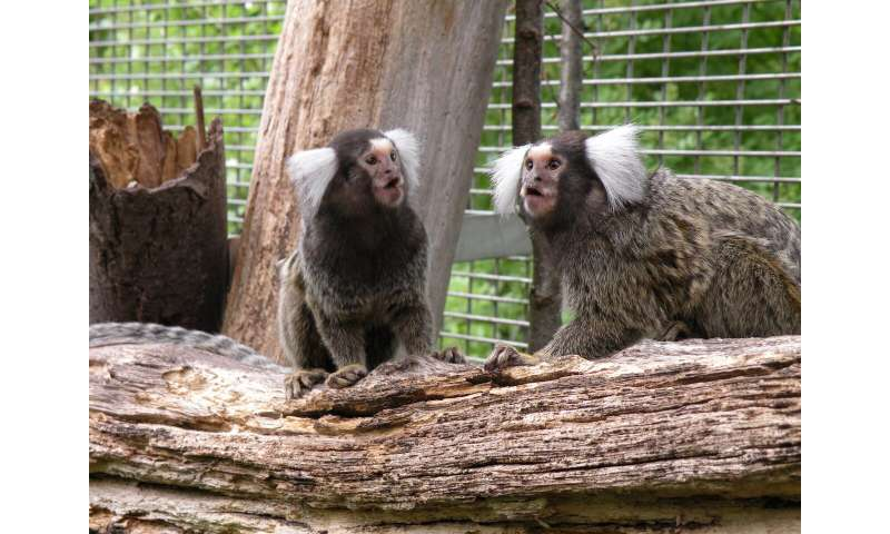 Marmoset monkeys can learn a new dialect