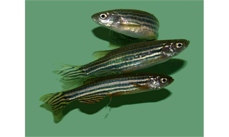 Medication in the environment affects feeding behavior of fish