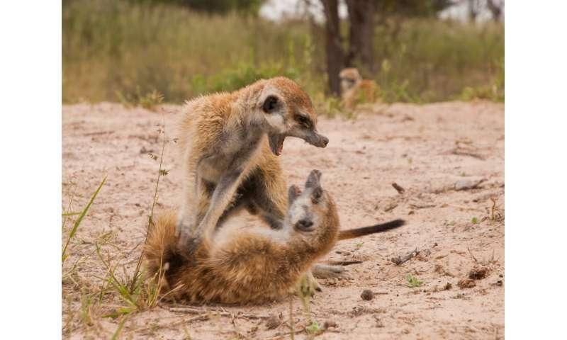 Meerkat mobs do 'war dance' to protect territory
