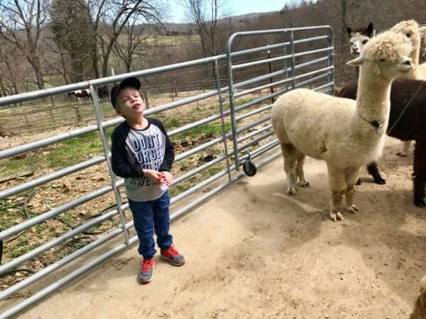Meet the alpacas that could cure autism, Alzheimer's and cancer