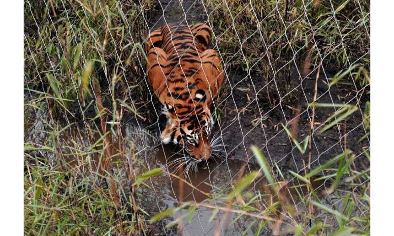 Melati was placed with the other tiger to try and breed as part of a Europe-wide programme to help boost the numbers of the enda