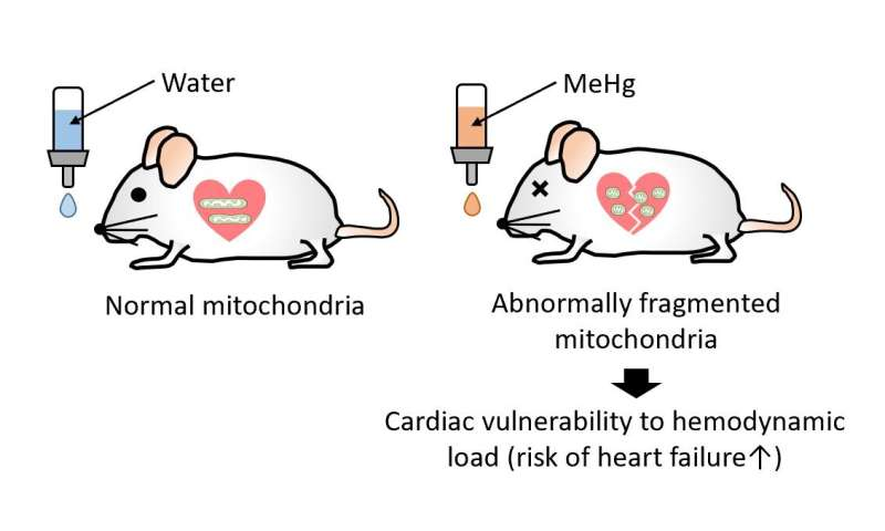 Methylmercury precipitates heart failure by increasing Drp1-mediated mitochondrial fission