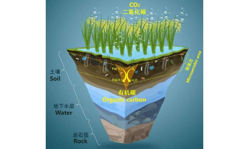 Microaerobic Fe(II) oxidation could drive microbial carbon assimilation in paddy soil
