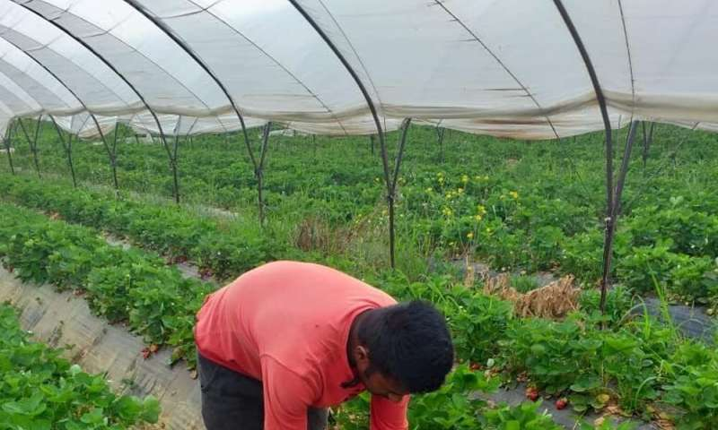 Migrant strawberry pickers in Greece face deadly conditions