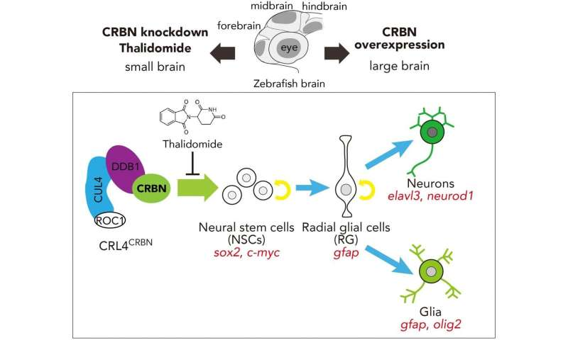 Molecular basis of brain dysfunction and embryo malformation associated with thalidomide