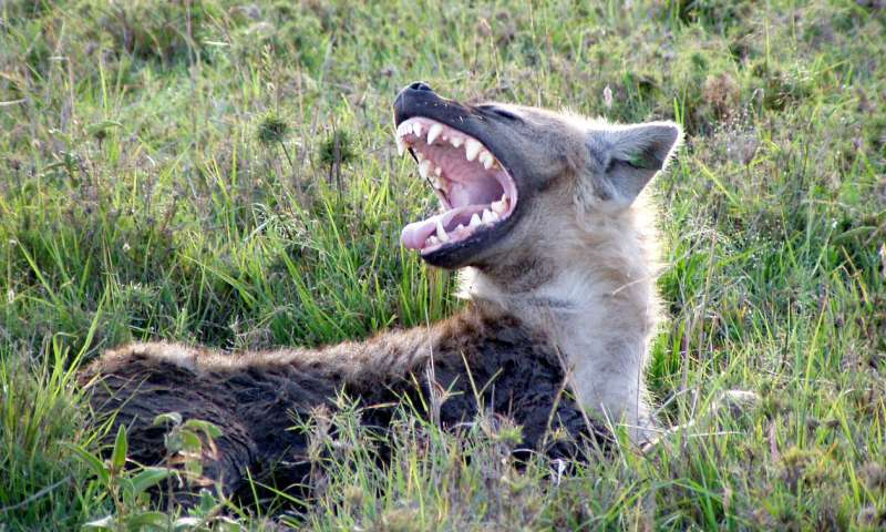 More humans always mean fewer African carnivores, right? Nope
