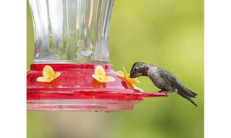 Most microbes in hummingbird feeders do not pose health hazard