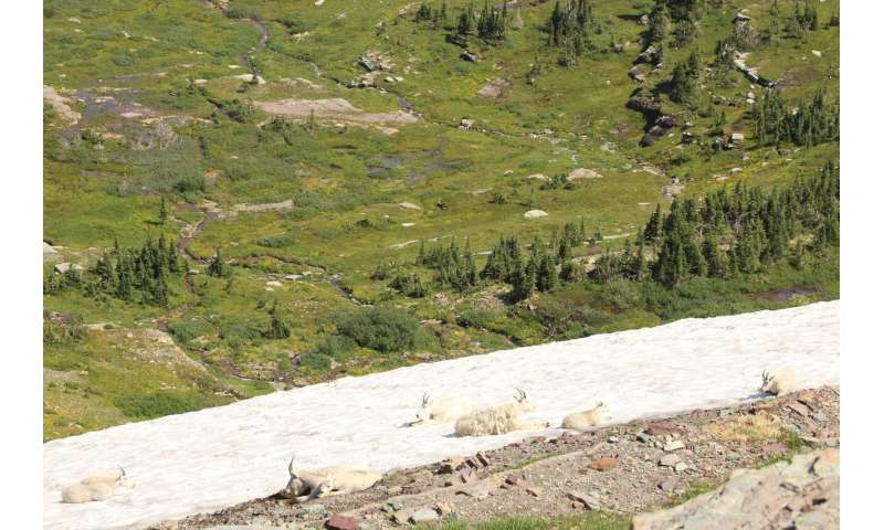 Mountain goats' air conditioning is failing, study says