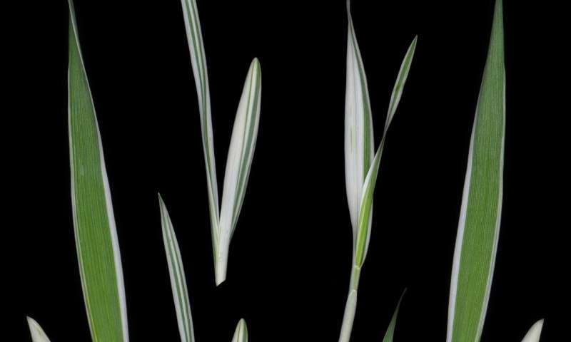 Mystery behind striped barley solved