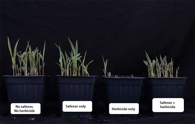 Natural plant defense genes provide clues to safener protection in grain sorghum