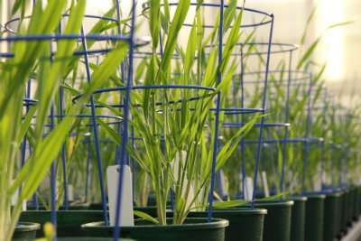 New complex carbohydrate discovered in barley