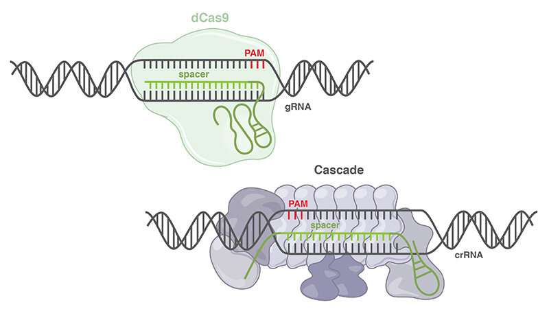 New CRISPR class expands genetic engineering toolbox